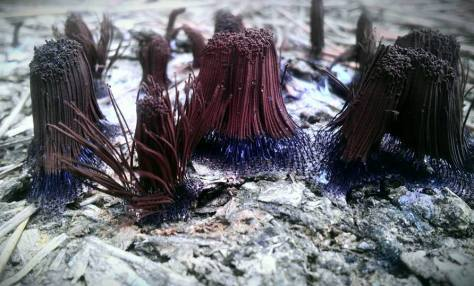 Stemonitis splendens or chocolate slime mold.